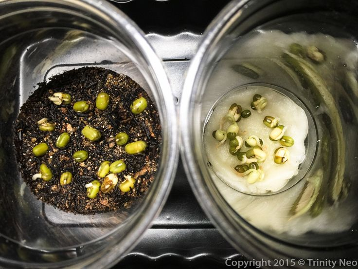 """""""I Am A Young Botanist"""" - Task 16 (***)   Grow some green bean seeds on moist cotton wool and some in a pot of soil. Observe seeds from whic..."""