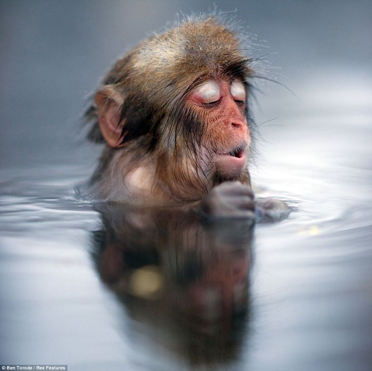 Japanese snow monkey sighs with relief as he plunges into Japanese hot spring to warm up