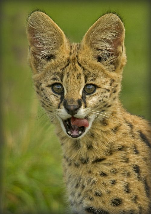 Serval Kitten - The serval is native to Africa, where it is widely distributed south of the Sahara.