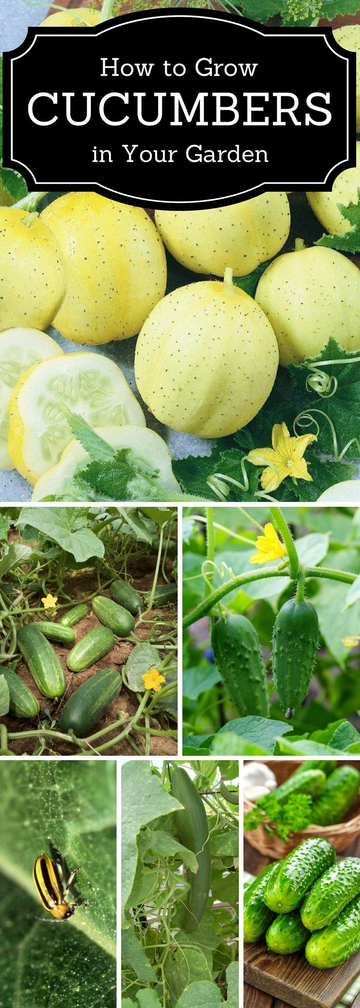 Top 10 Tips on Growing Cucumbers in The Home Garden – Share Today's Craft and DIY Ideas