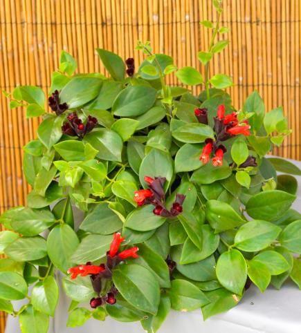 Lipstick plant flowering houseplants