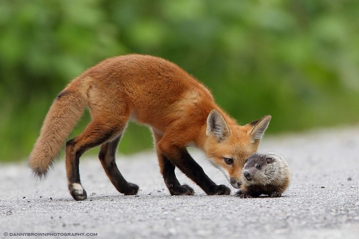 Fox Kit and Baby Groundhog by Danny Brown on 500px So, you is a baby groundhog?