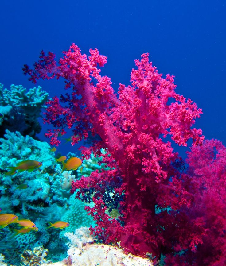hot pink coral