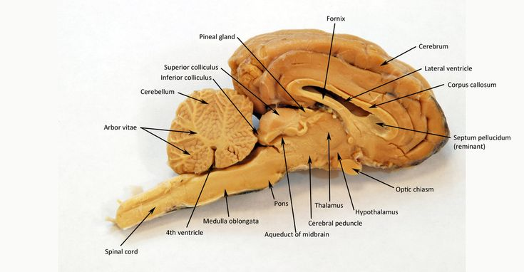 Pin by Abby Kate on College | Brain diagram, Nervous ...