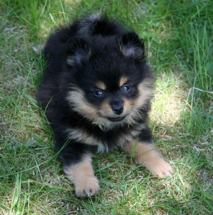 Black and tan kleinspitz | DOGS ~ PUPPIES | Pinterest ...