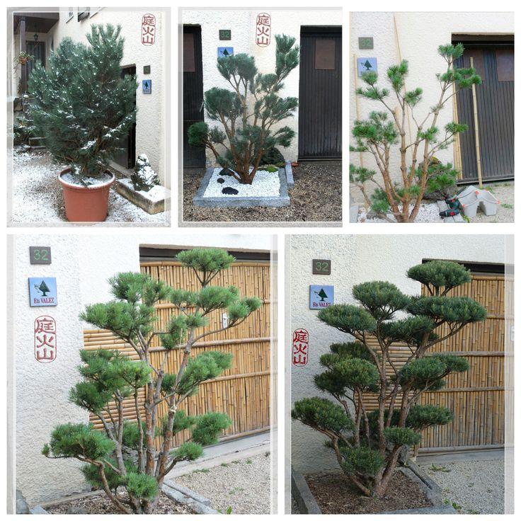 Les 25 meilleures id es de la cat gorie arbuste japonais sur pinterest floraison des arbres - Arbuste japonais persistant ...