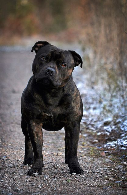 The next time I adopt a pitbull I've said I want one just like this. The least adoptable dog in the world is a pitbull, and a black one at that.
