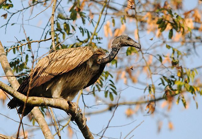 The Slender-billed Vulture (Gyps tenuirostris) is found from the Gangetic plain north, west to HP, south potentially as far as northern Odisha, and east through Assam. This species has suffered a marked decline in its numbers in recent years. Captive-breeding programs in India are aiming to conserve the species, and it is hoped that vultures can be released back in the wild