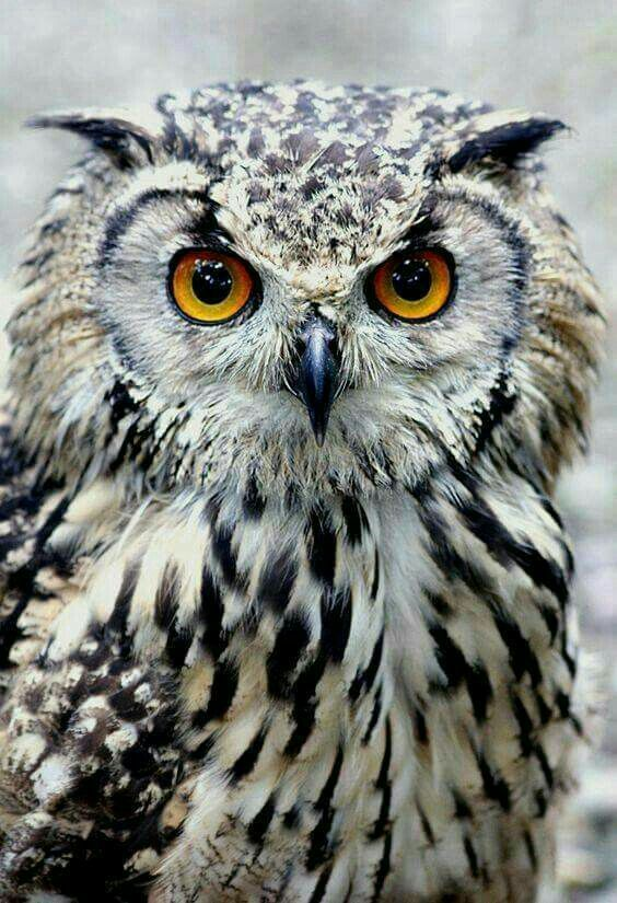 Amazing wildlife. Owl photoo