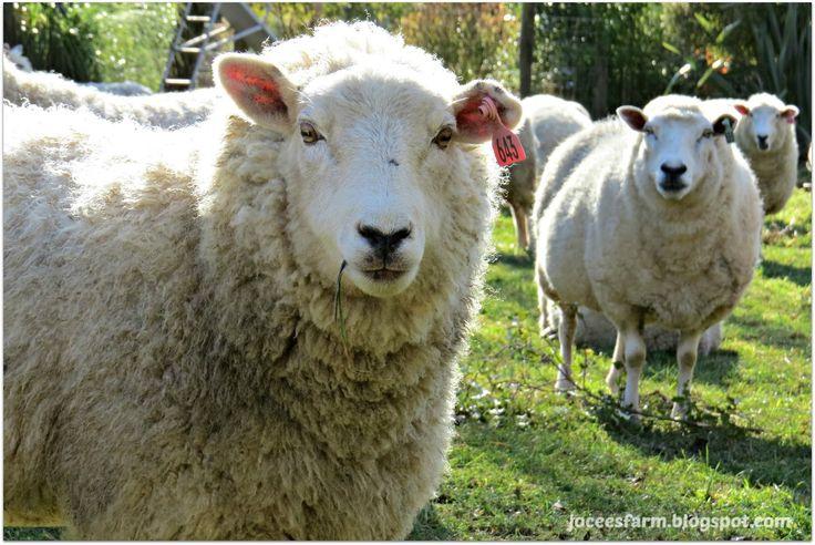 Sheep Selfie @ JoceesFarm.blogspot.com