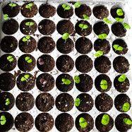 Stap-voor-stap uitleg om zelf basilicum te zaaien, te verplanten, uit te dunnen, in leven te houden, en te oogsten! Daarnaast de lekkerste, mooiste en leukste basilicum rassen op een rijtje. DIY basil sowing