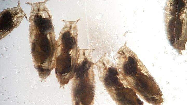 Fruit fly larvae sometimes consume alcohol  This helps exterminate parasitic wasps growing inside them  #biology #bugs #images #alcohol #fruit fly larvae #parasite