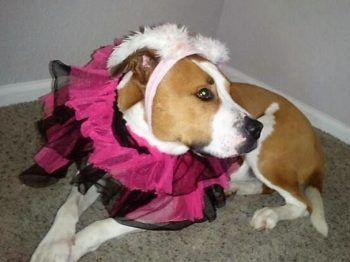 Stunning American Bulldog / Boxer Mix Dog For Adoption in Henderson, CO – Adopt Roxy Today
