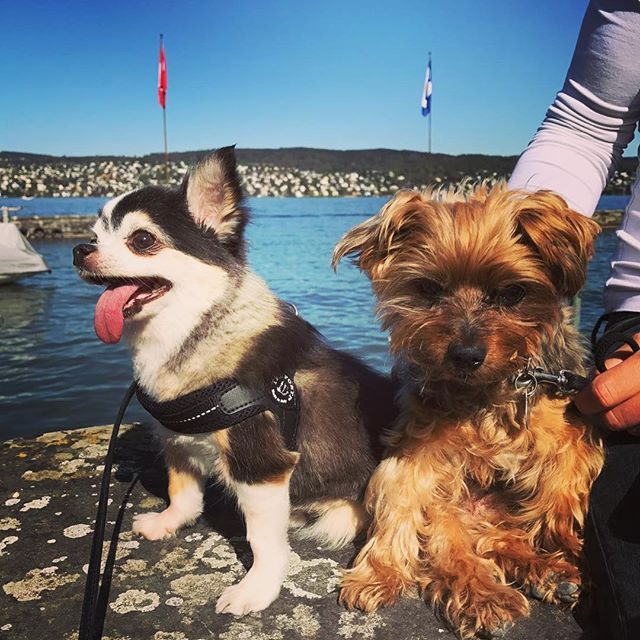 Gizmo & Tommy...29 combined years of cuteness 🇺🇸🐶🇯🇵ギズモ&トミー合わせると29歳〜! #dog #ilovemydog #dogoftheday #dogofinstagram #buddies #chihuahua #yorkie #chihuahuasofinstagram #yorkshireterrier #oldies #犬 #愛犬 #チワワ #ちわわ #老犬 #ヨークシャテリア #犬バカ部 #チューリッヒ湖 #チューリッヒ #zurich