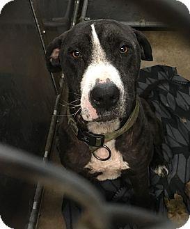 Claremore, OK - Great Dane/Labrador Retriever Mix. Meet Dane, a dog for adoption. http://www.adoptapet.com/pet/18085061-claremore-oklahoma-great-dane-mix