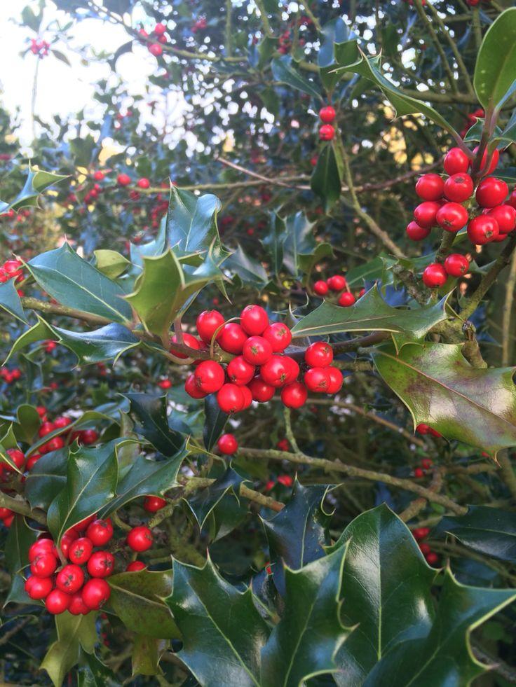 Le Houx - ROUGE ici - (Ilex aquifolium L., 1753) est une espèce d'arbustes, ou de petits arbres, à feuillage persistant de la famille des Aquifoliacées, couramment cultivés pour leur aspect ornemental, notamment grâce à leurs fruits rouge vif. C'est l'une des très nombreuses espèces du genre Ilex, et la seule qui pousse spontanément en Europe.