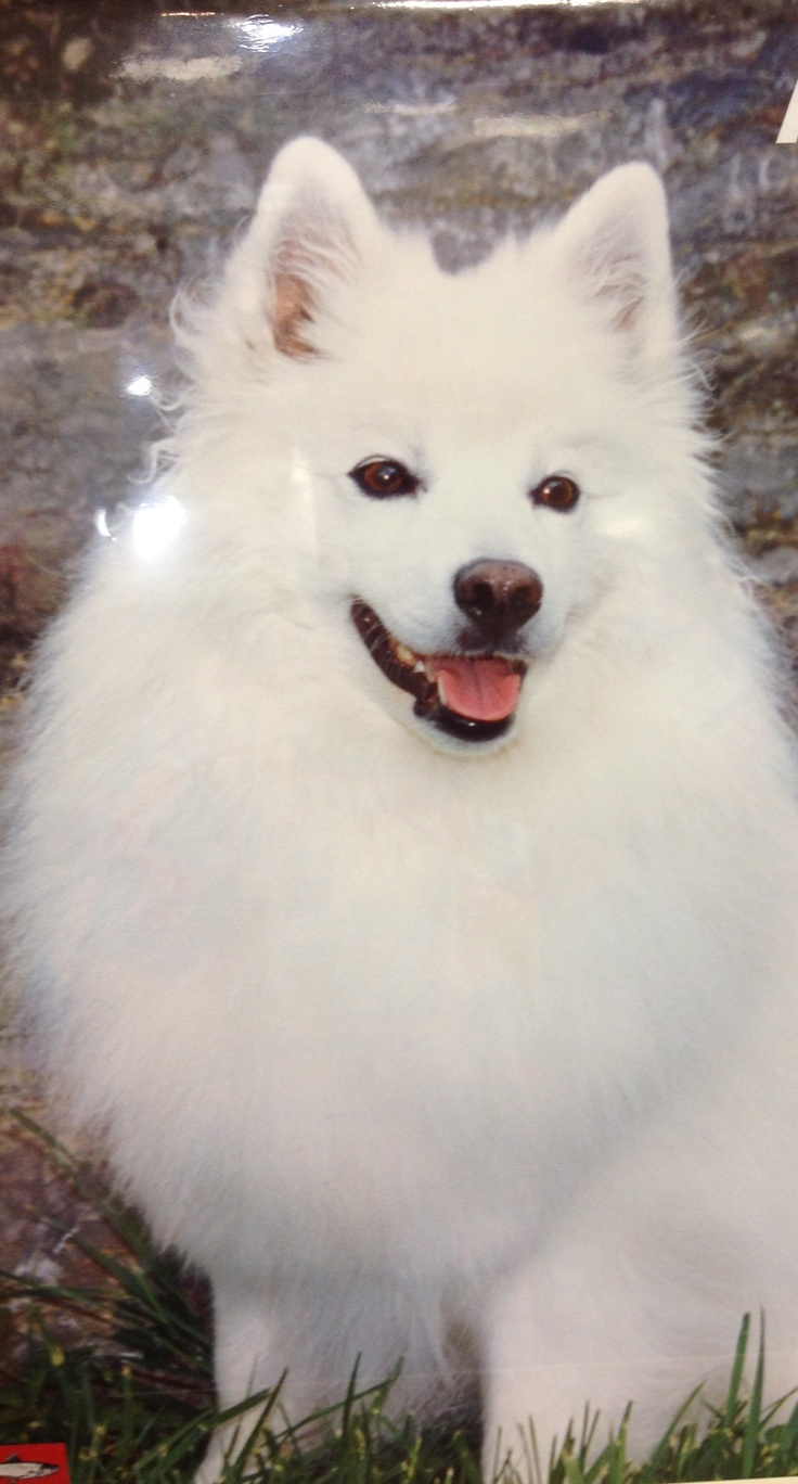 American Eskimo - Spitz -- sydney is going to be such a beautiful lady when she grows up!