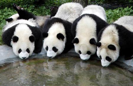 Google 画像検索結果: http://3.bp.blogspot.com/_dw2a3dWZPxo/TFP44kRn_aI/AAAAAAAAFto/U1kcU3GcB4U/s1600/panda.jpg