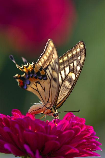 Butterfly pollinating zinnia... Breathtaking!!