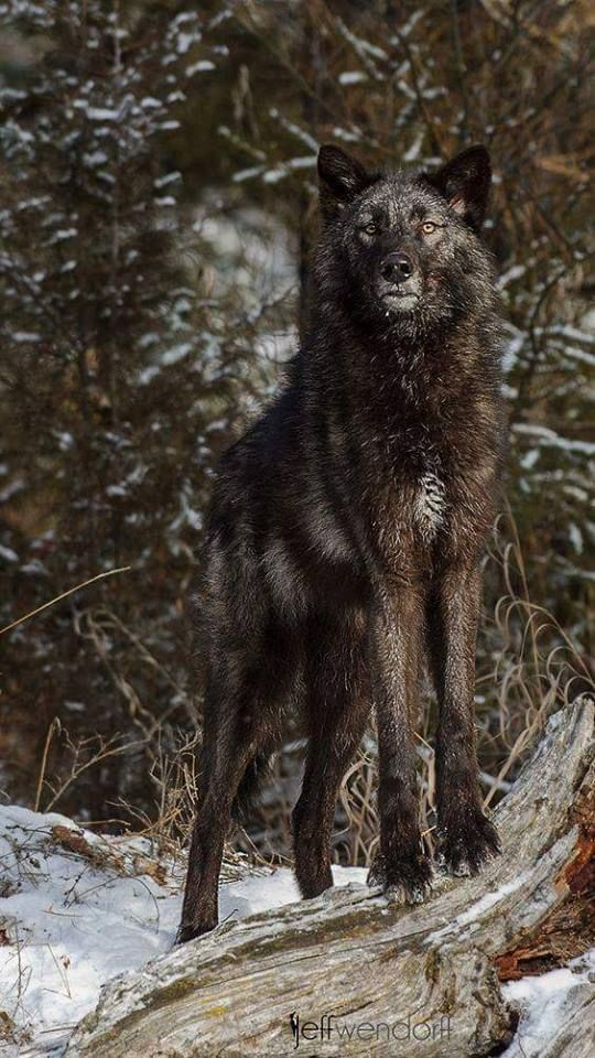 Majestic Black Wolf