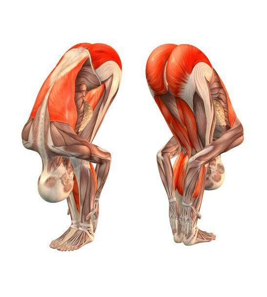 Uttanasana Anatomy Yoga Pinterest