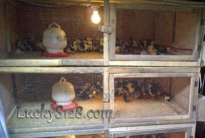 Cara Merawat Anak Ayam Bangkok Agar Cepat Besar