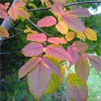 White Ash leaf