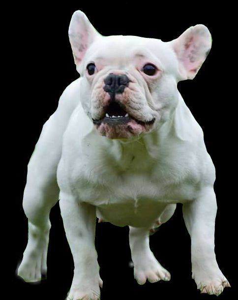 French Bulldog , www.facebook.com/foudboubou/ elevage de bouledogue francais bulldog ariege france
