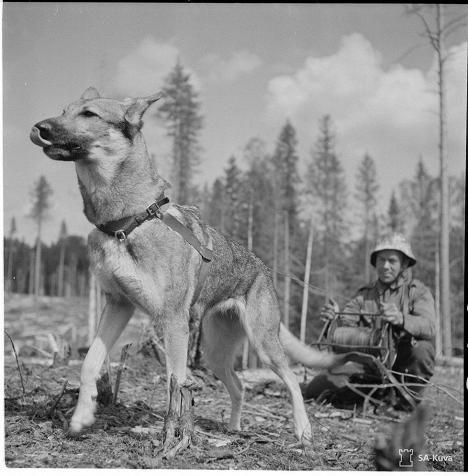 Finnish MWD -- Sotakoirat vetävät puhelintapsit sellaistenkin maastokohtien yli, joissa viestimiehet eivät voi liikkua. Syväri 8.7.1942.