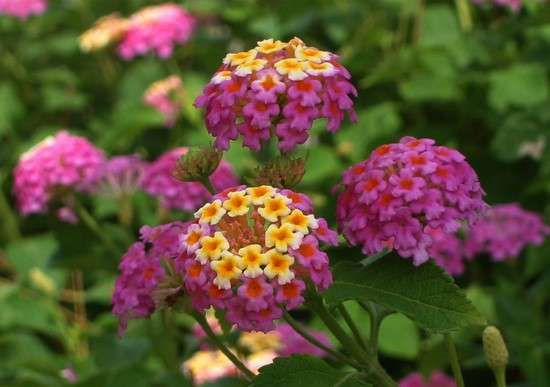 lantana fleurs résistantes à la sécheresse