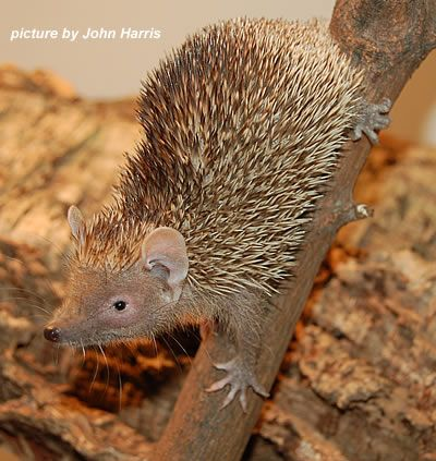 Lesser hedgehog tenrec Just learned about Tenrecs today. From Madagascar and N. Africa (not at all related to Hedghogs)