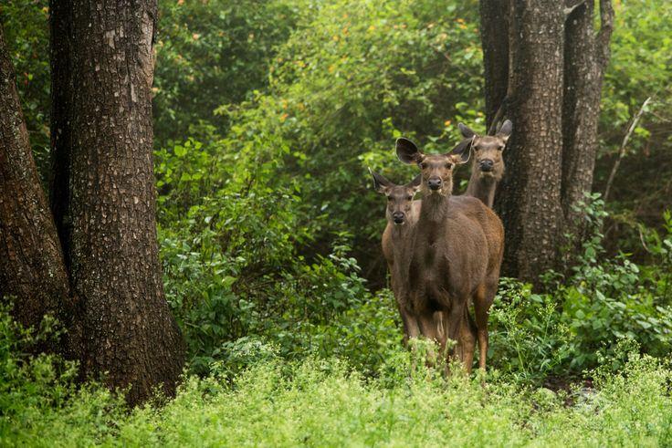 Three Musketeers by Siva Kumar on 500px || Sambar deer