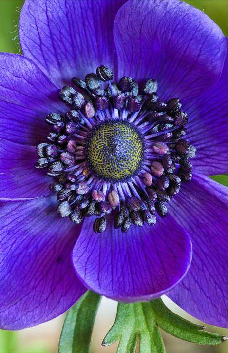 ~~Anemone coronaria 'Mona Lisa' by Brian Johnston~~
