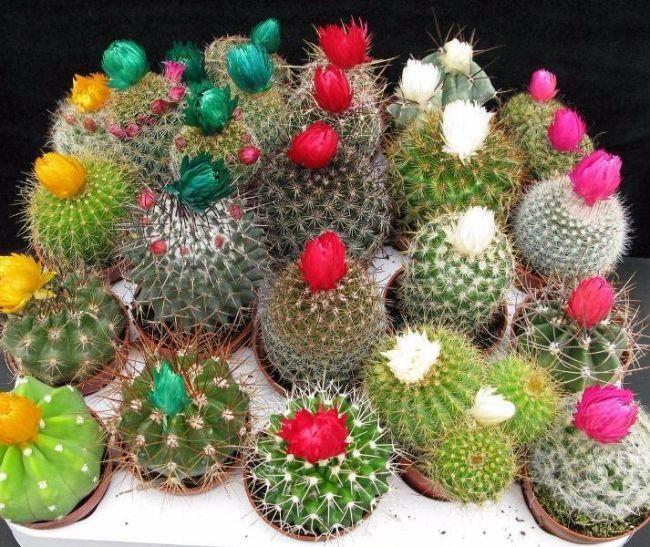 Суккулентные растения из-за своей засухоустойчивости популярны среди рассеянных цветоводов. Наиболее интересны при этом кактусы, название и фото которых ассоциируются с жарким климатом, дальними стран...
