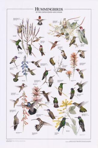 pictures of hummingbirds and warblers | Bird Poster: Hummingbirds of U.S. & Canada | Bird Identification ...