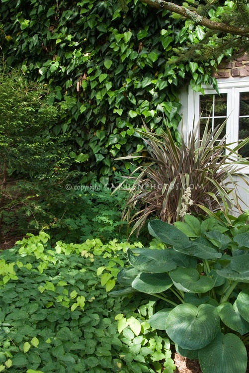 Shade landscaping with blue hosta, Epimedium x perralchicum Frohnleiten, Phormium, Hedera colchica vine on house with window visible