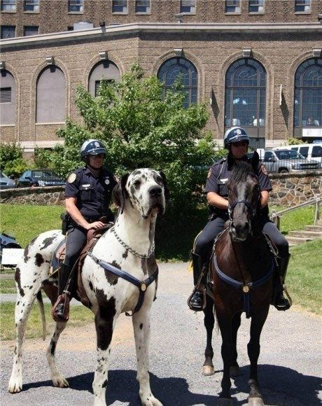 Well, Great Danes are in similar in build to horses, but I didn't think you could ride them like horses!