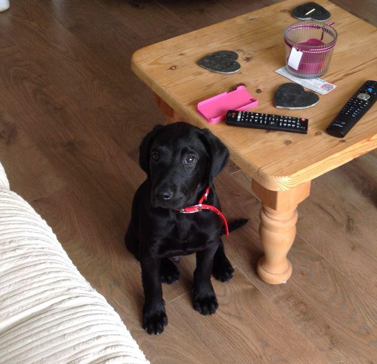 Alfie the springador - My little cutie #springador #pup #puppy #puppydog #cutie #black