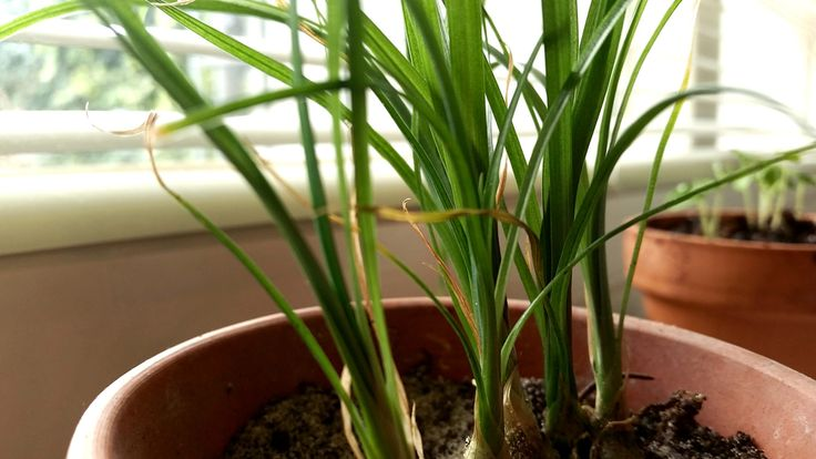 Beaucarnea recurvata, also known as Nolina recurvata, elephant's foot or most commonly as the ponytail palm, is a rather odd looking houseplant. Juvenile plants look somewhat like onions witha round…