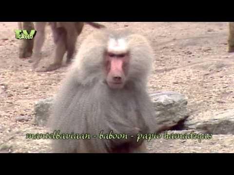 Classic clip: Meet the Baboon - Baviaan #03 - YouTube