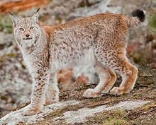 List of mammals of Romania - Wikipedia, the free encyclopedia