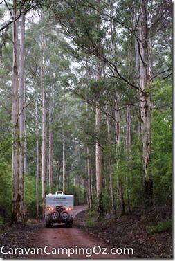 Great Forest Trees Drive, Shannon National Park, WA | CaravanCampingOz.com