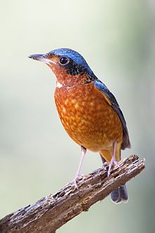 A bird perching on an old wooden stump. It has mostly variegated red and orange plumage on its underside from its chin to its rump with a small area of white on its throat. It has black behind its eyes and blue on its wings and on the top of the head.