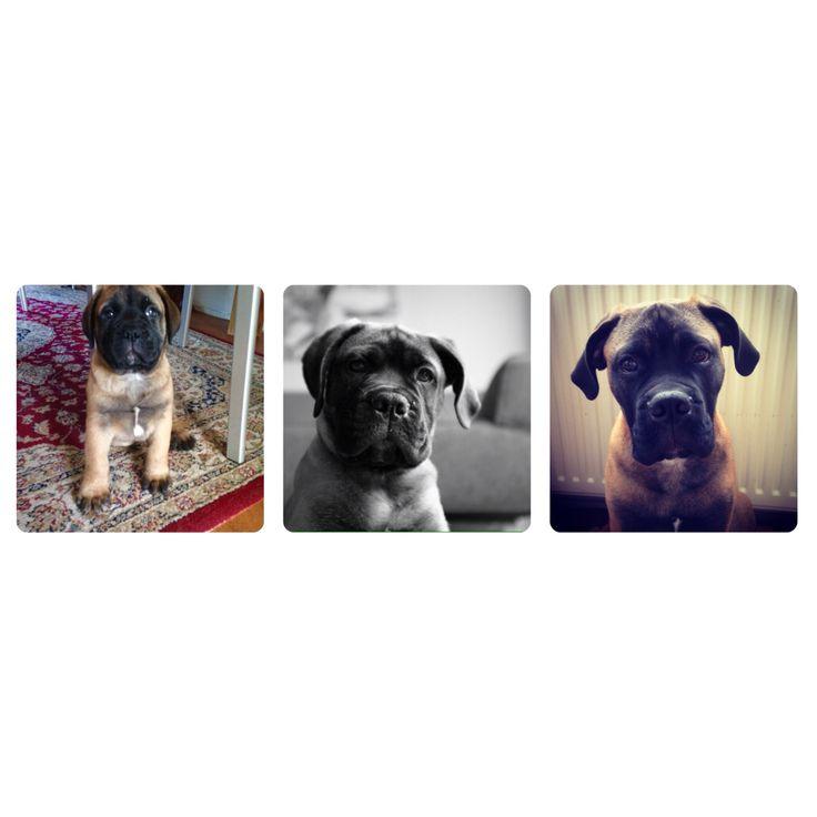 Beer/Bear  Bullmastiff puppy   – Animals