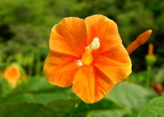 Orange Morning Glory Tiny Orange Noah 10 Rare Seeds Rare Seeds Flowers For Mom Container Plants