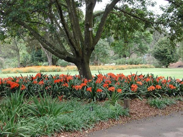 Clivias, KwaZulu Natal National Botanical Garden
