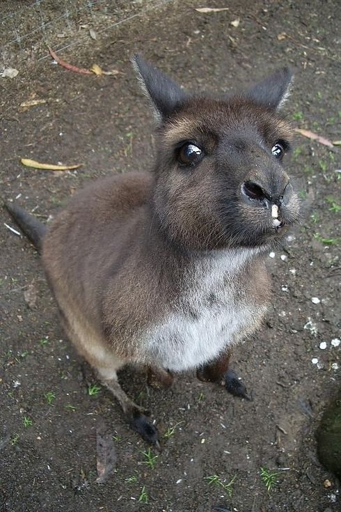 Oh, also the kangaroos of Kangaroo Island   34 Reasons Australia Is The Most Beautiful Place On Earth
