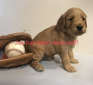 Litter of 8 Goldendoodle puppies for sale in NEW HAVEN, IN. ADN-59344 on PuppyFinder.com Gender: Male. Age: 6 Weeks Old