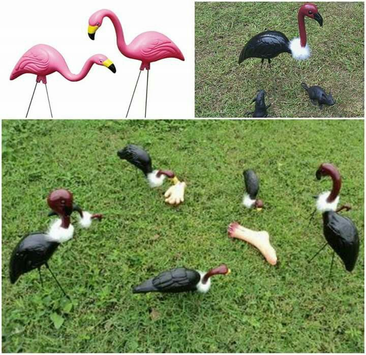Vulture flamingos
