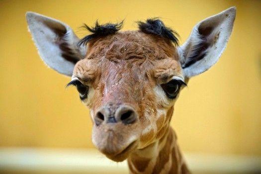 Così piccolo e già una star: si tratta della prima nascita di un cucciolo di giraffa dopo l'apertura del giardino zoologico e botanico di Debrecen, in Ungheria.